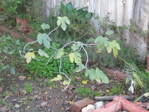 fig tree 003