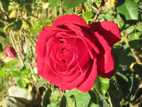 roses 008