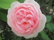 Ada's roses December 2014 004