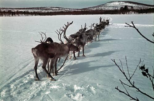 reindeer ( SA-kuva archive )