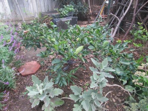 lime-tree-004