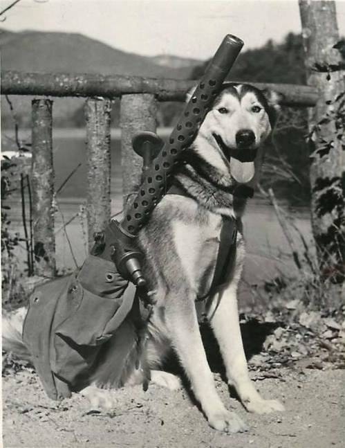 dog with machine gun