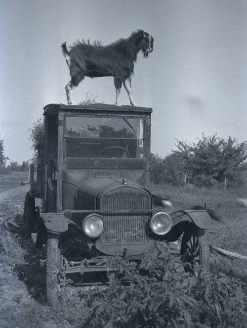 goat on model T