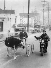 ostrich cart la 1930s
